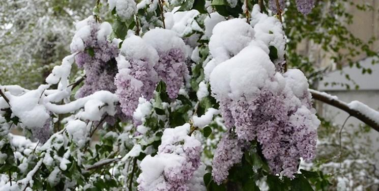 بارش برف بهاری تاشکند را سفید پوش کرد