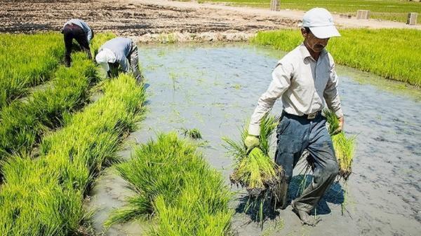 برداشت برنج در شهرستان خاش